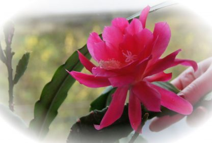Эпифиллум розовоцветный