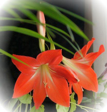 Гиппеаструм оранжевый
